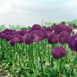 Giant Allium Bulbs
